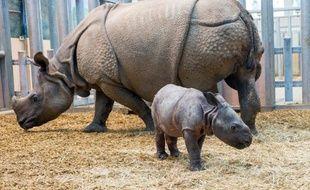 Un bébé rhinocéros indien est né il y a quinze jours au zoo de Beauval, a annoncé mercredi la direction du parc.