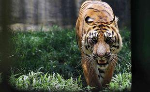 Illustration: un tigre de Sumatra.