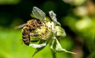 L'apport des abeilles sauvages dans la pollinisation des cultures est évalué à plus de 3.250 dollars (2.880 euros) par hectare et par an