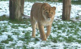 Une lionne marche dans la neige le 3 février 2015 au zoo de la Bourbansais, au nord de Rennes.
