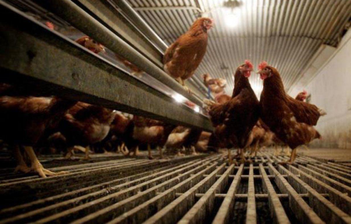 Environ 51 millions de poules pondeuses vont se retrouver hors-la-loi l'an prochain, car elles sont tenues dans des cages non aménagées, ce qui risque d'aboutir à l'ouverture de procédures d'infraction contre au moins onze Etats de l'UE, a annoncé lundi la Commission européenne – Volker Hartmann afp.com
