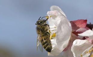 Une abeille qui butine. Illustration.