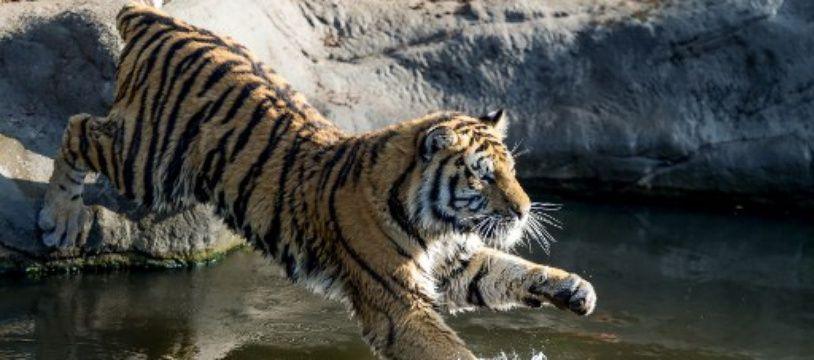 Un tigre de Sibérie au zoo de Hambourg, en Allemagne, où était né Yurij. (illustration)