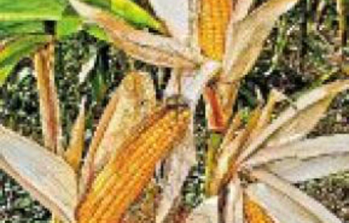Les ministres demandent la révision des études sur le maïs OGM NK603. –  M. GILE / SIPA
