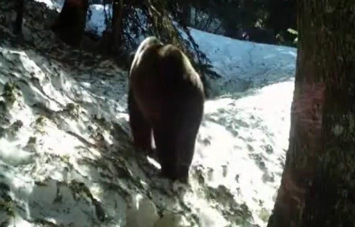 Un ours dans les Pyrénées françaises en 2013 – ONCFS equipe ours