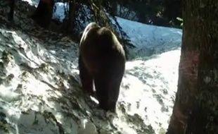 Un ours dans les Pyrénées françaises en 2013