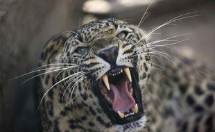 Un léopard en Inde.