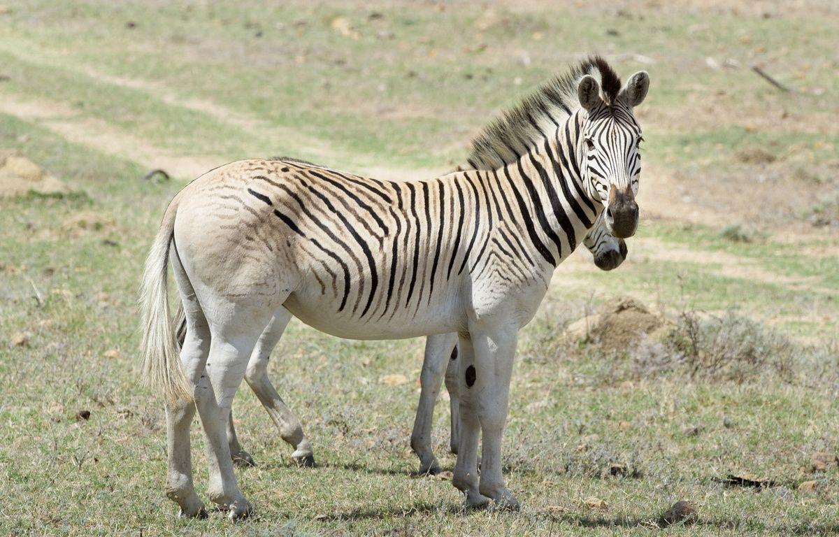 Des quaggas, une sous-espèce du zèbre, qui broutent au pied des montagnes escarpées du Cap occidental, en Afrique du Sud – RODGER BOSCH