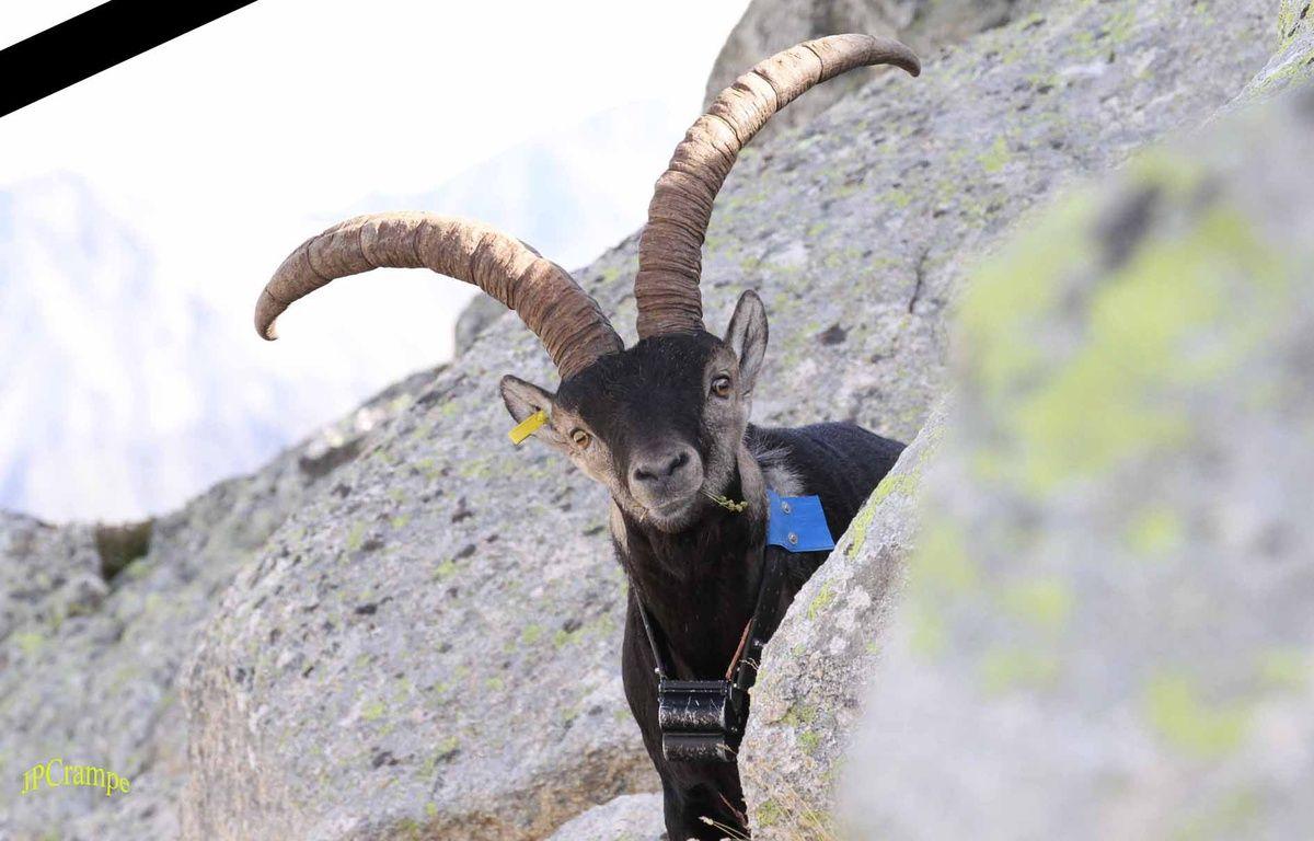 Pitou, le bouquetin solitaire des Pyrénées, a été retrouvé mort sur le versant espagnol. – J. C. Crampe