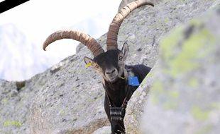 Pitou, le bouquetin solitaire des Pyrénées, a été retrouvé mort sur le versant espagnol.