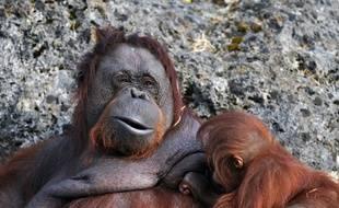 Une maman orang-outan