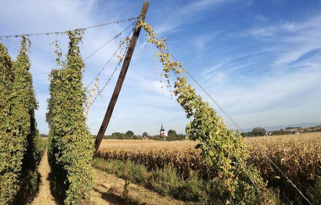 Une houblonnière demande trois ans avant d'être vraiment récoltée et celle-là, à la sortie de Grassendorf, ne le sera pas cette année.