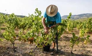 Les passionnés de vin ou simples investisseurs peuvent acheter des parts de vignes dans le Beaujolais, vendues 1.000 euros la part. Illustration.