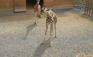 Des girafes du zoo des 3-Vallées, dans le Tarn.