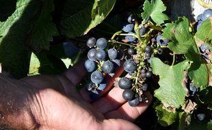 Près de 7 tonnes de raisins ont été volées.