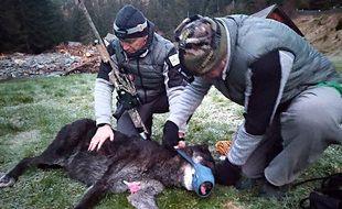 Un loup noir du Canada capturé par des agents de l'Office français de biodiversité le 5 novembre 2020 dans le Mercantour