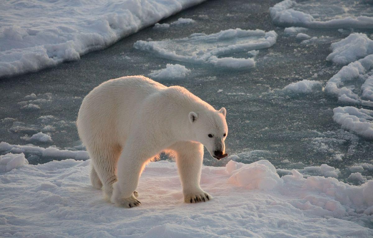 Un ours polaire sur la banquise. – SOLENT NEWS/SIPA