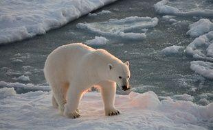 Un ours polaire sur la banquise.