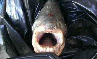Le pacu découvert vendredi dans la Seine par un pêcheur à la ligne.