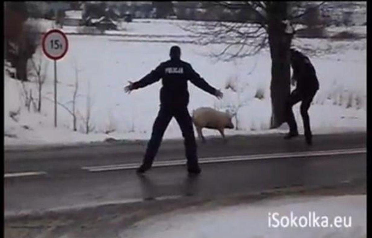 Le cochon et les policiers. Sokolka, Pologne, le 13 février 2013. – Capture d'écran