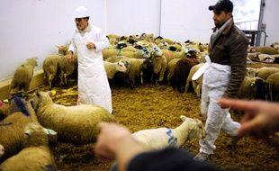 Un musulman choisit un mouton dans un élevage, à l'occasion de l'Aïd-el-Kébir, le 8 décembre 2008 à Bourg-en-Bresse.