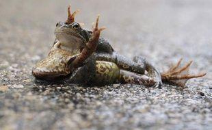 Des grenouilles s'accouplent à Mijoux, France, le 19 mars 2011.