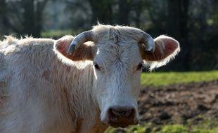 Une vache dans son pâturage. Illustration.