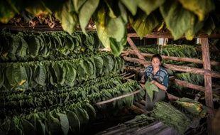 """A l'extrême nord-est de Cuba, se niche une mine d'or: la région de """"Vuelta Abajo"""", où une terre argileuse, un climat humide et un savoir-faire ancestral se conjuguent pour produire les cigares les plus réputés du monde, une entreprise lucrative qui rapporte chaque année plusieurs centaines de millions de dollars."""