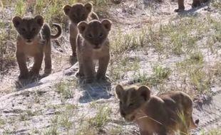 Ces lionceaux sont les petits-enfants de Cecil