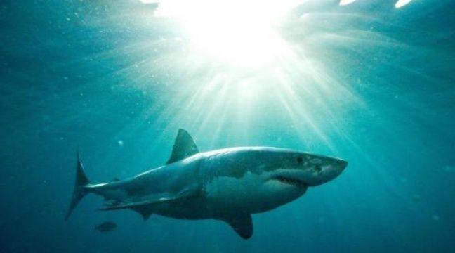 Un des secrets permettant au requin d'être un formidable prédateur réside dans sa capacité à nager vite et à changer de cap sans ralentir, des manoeuvres permises par sa peau contrôlant le flux de la circulation de l'eau sur son corps, selon une étude présentée mardi. – Andrew Fox afp.com