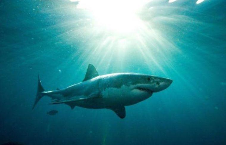Un des secrets permettant au requin d'être un formidable prédateur réside dans sa capacité à nager vite et à changer de cap sans ralentir, des manoeuvres permises par sa peau contrôlant le flux de la circulation de l'eau sur son corps, selon une étude présentée mardi.