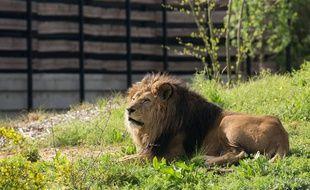 Néro, le lion du zoo de Vincennes, en 2014.