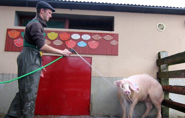 Un éleveur douche une cochette porc blanc de l'Ouest (illustration).