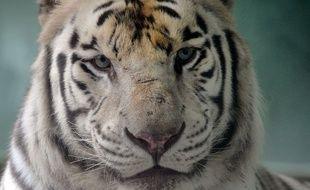 Un tigre est mort pendant le voyage. (Illustration)