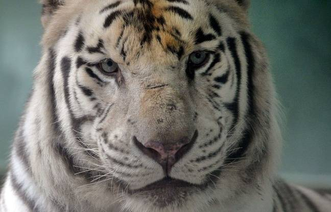 Tigre abattu à Paris: Choqués, indignés, ils réclament l'interdiction des cirques dans la capitale
