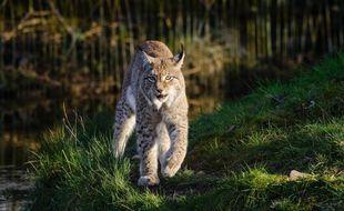 Un lynx roux (Illustration)