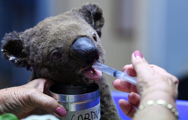 Un koala déshydraté et blessé est soigné le 2 novembre à l'hôpital pour koalas de Port Macquarie, en Australie, après avoir été sauvé des flammes.