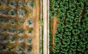 En Italie, un million d'arbres ont été touchés. A gauche, une espèce infectée, à droite, une autre qui ne l'est pas. (archives)