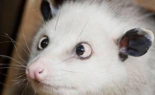 Heidi, un oppossum atteint de strabisme au zoo de Leipzig, Allemagne, le 14 décembre 2010.