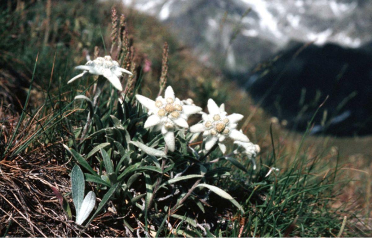 L'edelweiss est la star des actifs de l'extrême. – BUISSON/SIPA