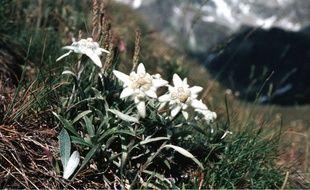 L'edelweiss est la star des actifs de l'extrême.