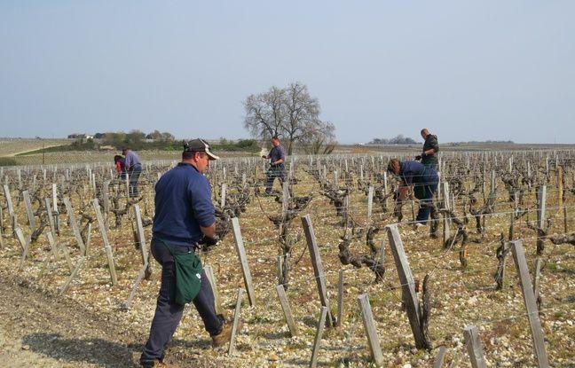 A Saint-Estèphe, le 24 mars 2016, pose de diffuseurs de phéromones dans les vignes du château Cos Labory pour éviter la prolifération du ravageur appelé la tordeuse de la grappe.