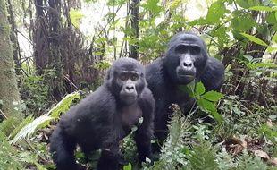 En Ouganda, une femelle gorille et son petit se ballade dans ce parc national, le 5 mars 2018.