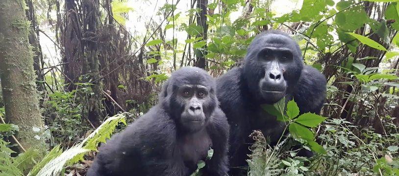 Une femelle gorille et son petit se baladent dans un parc national en Ouganda, le 5 mars 2018.