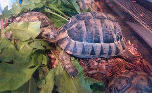 Onze spécimens de ces tortues «mauresques» ont été saisis chez le couple ariégeois.