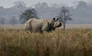 Un rhinocéros indien en Inde (image d'illustration).