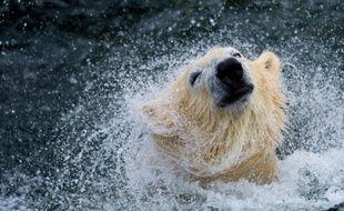 """L'avenir de l'ours blanc est """"pour le moins incertain"""" à cause du """"réchauffement accéléré de l'Arctique"""", a mis en garde jeudi la branche canadienne de l'organisation écologique mondiale WWF."""