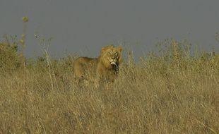 Image d'illustration d'un lion, ici au Kenya.