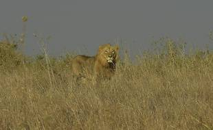 Image d'illustration d'un lion, ici au Kenya.