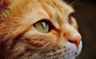 Plusieurs chats ont récemment disparu à Rieumes, en Haute-Garonne. Illustration.
